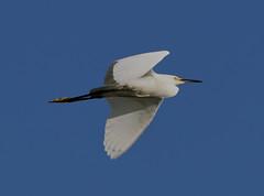 05-23-18-0019466 (Lake Worth) Tags: animal animals bird birds birdwatcher everglades southflorida feathers florida nature outdoor outdoors waterbirds wetlands wildlife wings