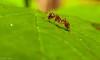 Little Ant, could be Mymrica Sp. (riggy-riggo) Tags: ant mimicssp nature woodland wildlife spring macro deborahrigden debbierigden riggyriggo canon5dmarkll canonmpe65mm