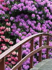 Not the Japanese garden (Shahrazad26) Tags: clingendael rhododendron brug bridge brücke pont ponte denhaag sgravenhage thehague lahaye nederland holland thenetherlands paysbas zuidholland