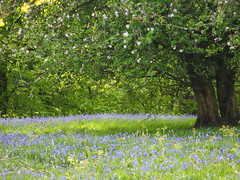 Enchanted (Céanndhubahn) Tags: citrit scotland appleblossom appletrees scottishbluebells bluebells thepixies faeries enchanted
