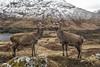So as I was saying to Morag........ (davidrhall1234) Tags: reddeercervuselaphus reddeer hind animal countryside mammal deer wild wilderness nature nikon outdoors wildlife world woodland mountains scotland highlands glens