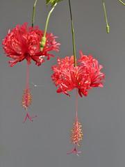 Japanese Lantern (SivamDesign) Tags: canon eos 550d rebel t2i kiss x4 300mm tele canonef300mmf4lisusm flora flower hibiscus hibiscusschizopetalus fringedrosemallow japaneselantern coralhibiscus spiderhibiscus