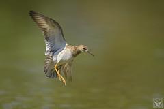 Philomachus pugnax, Combattente, Combattant varié, Ruff (Xrupex) Tags: philomachuspugnax combattente combattantvarié ruff wings nature bird oiseausauvage oiseaux natureimages wilderness