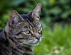 500_6734  Rio (Philip Schofield aka Rattyman76) Tags: pet bengal cat portrait