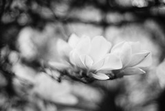 Out of the Universes (Thomas Listl) Tags: thomaslistl blackandwhite noiretblanc biancoenegro filmphotography minolta minoltax700 ilford delta100 ilforddelta 50mm bokeh flower blossom nature blur abstract universe grey branches light romantic analog