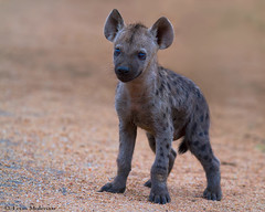 Hyena cub (leendert3) Tags: leonmolenaar southafrica krugernationalpark wildlife nature mammals hyena naturethroughthelens ngc npc coth5