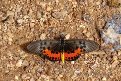 Acraea egina (Hiro Takenouchi) Tags: ghana nymphalidae insect butterflies butterfly schmetterling papillon nymphalid wildlife nature africa acraea acraeini heliconiinae