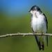 Tree Swallow (m)