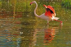 Grazia / Gracefulness (London Zoo, London, United Kingdom) (AndreaPucci) Tags: london uk zoo flamingo gracefulness lake andreapucci
