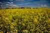 yellow fields (bernhofen) Tags: raps felder landwirtschaft frühling gelb fields rape yellow nature agriculture springcolors komplementärfarben blaugelb complementarycolors