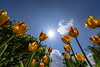 Towards the sun (Wilflingseder) Tags: blumen tulpen tulips flowers skyheaven