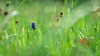 Grape Hyacinth II (David Ziegler) Tags: grape hyacinth