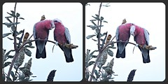 Love is in the tree tops... (Anni - with camera -) Tags: cockatoogalah cockatooroseate cockatoo eolophusroseicapilla galah pink grey gray seeds wattle banksiaintegrifolia granivoresseedeaters sirjosephbanks 1770 inmygarden h