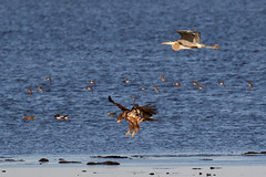 Busy feathers day....6O3A8817A (dklaughman) Tags: baldeagle juvenile shoveler shore bombayhooknwr delaware
