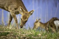 Sika Deer - Chincoteague Island, Virginia (crabsandbeer (Kevin Moore)) Tags: assateague chincoteague deer wildlife spring island sika sikadeer nature mammal fur graze chesapeake bay animal