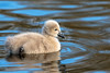 721A5715 (ChrisClicks.) Tags: chick cygnet ground martinmere swan water