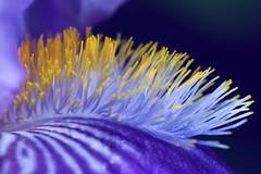 sous l'océan... ou pas (rondoudou87) Tags: iris fleur flower macro couleur color close closer couleurs colors pentax k1 smcpentaxdfa100mmf28macrowr jardin garden bokeh bleu purple violet yellow jaune