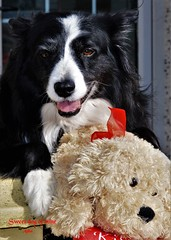 Sweet Dog of Mine (ASHA THE BORDER COLLiE) Tags: sweet dog mine beautiful smile border collie toy ashathestarofcountydown