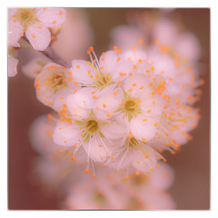 Hawthorn Blossom (Mark Wasteney) Tags: blossom flowers plant flora softfocus squareformat
