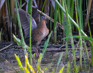 Virginia Rail ... Life Bird Madrona Marsh Torrance California  252