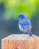 Western Bluebird (Allan Hack) Tags: bernalgulnacjoiceranch birds animals wildlife westernbluebird bird hiking sanjose california unitedstates us