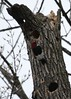 Red-headed Woodpecker (Rita Wiskowski) Tags: lakepark milwaukee milwaukeecounty park