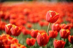 standing-out (Don Pedro de Carrion de los Condes !) Tags: donpedro d700 nopolder tulpenroute holland dutch tulips amsterdamred redtulips alshetlentewordt opvallend maaiveld metkopenschouders tulpenveld kleur colors spring lente voorjaar tulipa contrast kleurig bollenveld bollen bloembollen typical stepnop