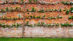 Well trained Apple Tree. (Flyingpast) Tags: apple tree blossom walledgarden pretty outdoors trained scotland glamis castle wall brick flower nature lines straight spring angus