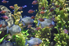 Red Piranha (Adventurer Dustin Holmes) Tags: 2018 wondersofwildlife underwater fish animal animals aquatic redpiranha piranha chordata
