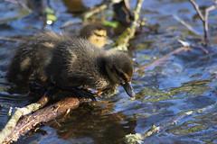 The jump (DarklyDreamingCara) Tags: duck duckling fluff water lake cute mallard bird birding