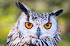 On Refelction (Paul A Wiles) Tags: eagle owl