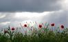 waving poppies (phacelias) Tags: poppies klaprozen papaveri rosso red rood