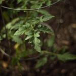 Tomato plant grows thumbnail