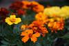 DSC08147 (Old Lenses New Camera) Tags: sony a7r graflex graftar wollensak 103mm f45 plants garden trioptar flowers marigolds