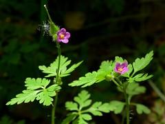 *Geranium purpureum (openspacer) Tags: geraniaceae geranium jasperridgebiologicalpreserve jrbp nonnative