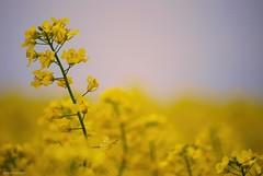 Rising above the blur of life.... (Joe Hengel) Tags: spring springtime springday springflowers yellow yellowflower yellowmustard lowerslowerdelaware lsd delaware southerndelaware sussexcounty clouds mustard mustardflower bokeh risingabovethebluroflife argoscorner argoscornerde