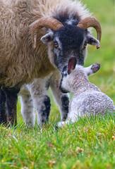 Scottish blackface sheep (Margaret S.S) Tags: scottish blackface