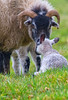 Scottish blackface sheep (Margaret S.S) Tags: scottish blackface