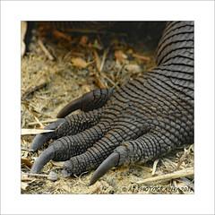 'This little piggy had none' (prendergasttony) Tags: nikon tonyprendergast d7200 nature florida america tallon foot macro toe nail black