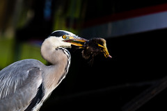 Heron with an unfortunate duckling (LiamHy) Tags: heron wildlife nature