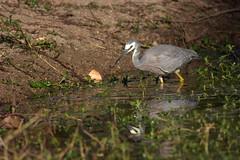 White-faced Heron (Luke6876) Tags: whitefacedheron heron bird animal wildlife australianwildlife reflection
