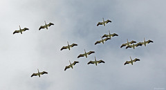 American White Pelican - 094A7655a1c (Sue Coastal Observer) Tags: americanwhitepelican awpe pelecanuserythrorhynchos flight delta bc britishcolumbia canada reifelbirdsanctuary