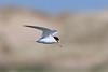 Little Tern. (stonefaction) Tags: little tern ythan estuary newburgh aberdeenshire scotland birds nature wildlife