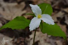 large white trillium, trillium grandiflorum (ats8110) Tags: largewhitetrillium trilliumgrandiflorum michigan native wild spring d700 nikon