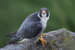 Peregrine falcon (cliveyjones) Tags: peregrinefalcon peregrine tiercel tercel