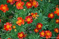 Квіти Чорнобривці InterNetri Ukraine 32