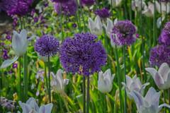Alliums and tulips (frankmh) Tags: plant flower allium tulip sofiero helsingborg skåne sweden