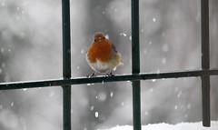IMG_0347 (Wild Sara) Tags: bird neve snow pettirosso red winter inverno