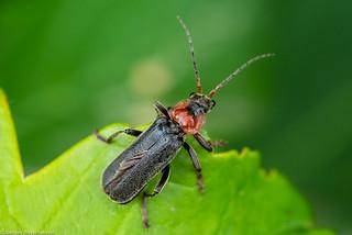 Noch ein Käfer