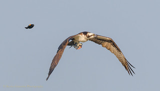 Red-winged Blackbird giving chase to Osprey with fish